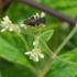 Pollinisateurs et ravageurs d'Haïti / Pollinators and pests of Haiti icon