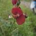 Leguminosae de la Orinoquia icon