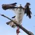 Aves rapaces de Panamá icon