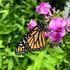 Monarchs of Columbus Ohio icon