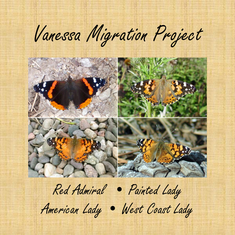 migration of vanessa butterflies Vanessa cardui is a well-known colourful butterfly, known as the painted lady, or in north america as the cosmopolitan this butterfly has a strange pattern.