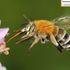 Bees (Anthophila) of Mainland China icon