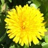 Dandelion Phenology Massachusetts Spring 2016 icon
