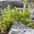 NORWAY - wild flora icon