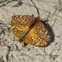 Lepidoptera of Saskatchewan icon