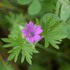 Geranium dissectum (Cut-leaved Crane's-Bill) icon