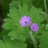 Geranium molle (Dove's-foot Crane's-Bill) icon