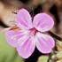 Geranium robertianum (Herb Robert) icon