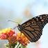 JOTR Monarch-Milkweed Project icon