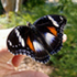 Butterflies of Queensland icon