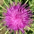 Mapping Silybum marianum in Italy/ Mappatura di Silybum marianum in Italia icon