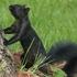 Melanistic Squirrels in Nebraska icon