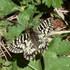 Lepidotteri di Maremma icon
