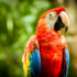 Scarlet Macaw (Ara macao) icon