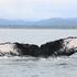 Humpback Whale (Megaptera novaeangliae) icon