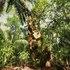 Mora Tree  (Mora oleifera) icon