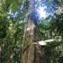 Manu tree (Minquartia guianensis) icon
