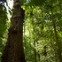 Ajo tree (Caryocar costaricense) icon