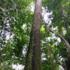 Ajo negro tree (Anthodiscus chocoensis) icon
