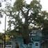 Austin's Legacy Trees icon