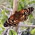 Lepidópteros de Baja California icon