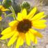 Plantas de interés apícola en el Norte de México y Sur de EU icon
