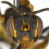 Abejas Silvestres del Ecuador / Wild Bees of Ecuador icon