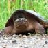 Nesting turtles of Peel and Halton Regions Ontario icon