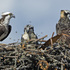 Kootenay Lake Osprey Nest Monitoring Project icon