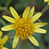Daisies of Botswana - Asteraceae icon