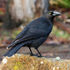 American Crows of the Bay Area icon