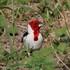 Aves de Sergipe (Birds of the Sergipe, Brazil) icon