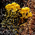 Slime Molds of the Pacific Northwest icon