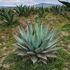 Agaves en Hidalgo icon