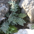 Ferns and Lycophytes of the Dallas-Fort Worth Metroplex icon