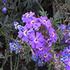 Insects & spiders on Glandularia aristigera  plants -  Botswana icon