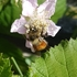 Bees of the South Coast, BC, Canada icon