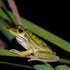 Central Coast Bell Frogs icon
