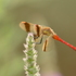 Dragonflies (Odonata) of Balkans icon