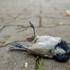 Столкновения птиц с окнами - Россия (Bird-window collisions - Russia) icon