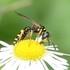 Hymenopterans of Ontario icon