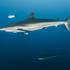 Tiburones, Rayas y Quimeras de Colombia icon