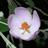 Bush Mallows - The Genus Malacothamnus icon