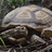 African spurred tortoises in West Africa icon
