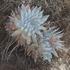 Dudleyas en el estado de Baja California icon