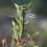 Стрекозы Карелии/Dragonflies Of Karelia (Russia) icon