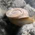 Gasterópodos continentales de la península ibérica icon