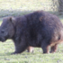Wombats of Tasmania icon