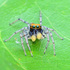 Jumping Spiders of Eastern North America icon
