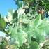 Plantas vasculares autóctonas de Asturias icon